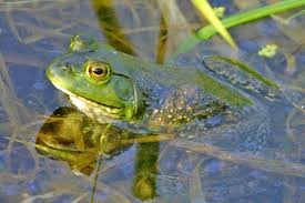 An American bullfrog, one of our favorite amphibians.