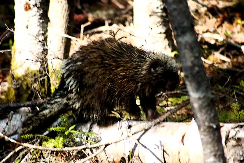 One of the many porcupines that live at or near the SERC Institute.
