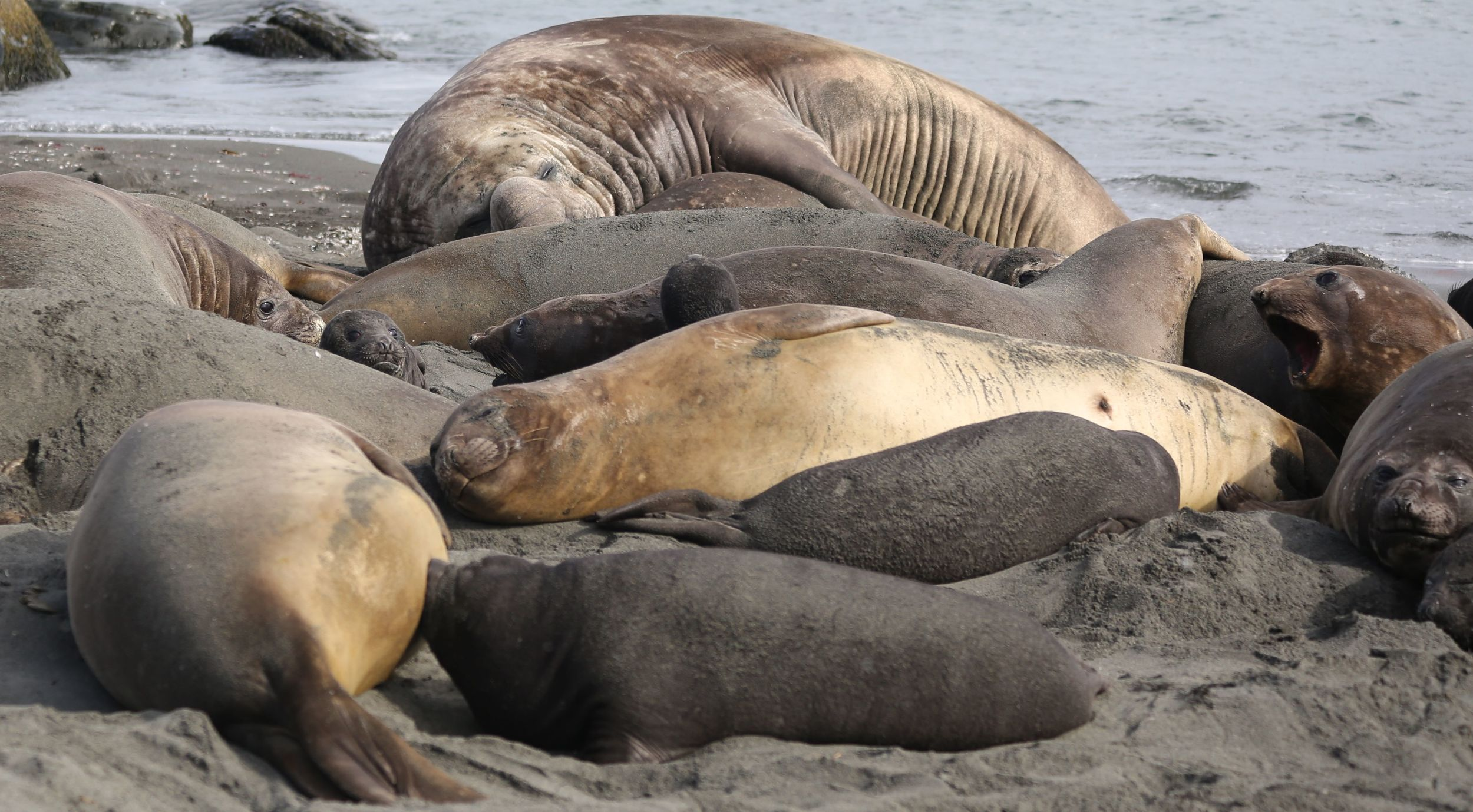 Beachmasters, mothers, pups and weaned youngsters—called weaners—crowded together along the water.