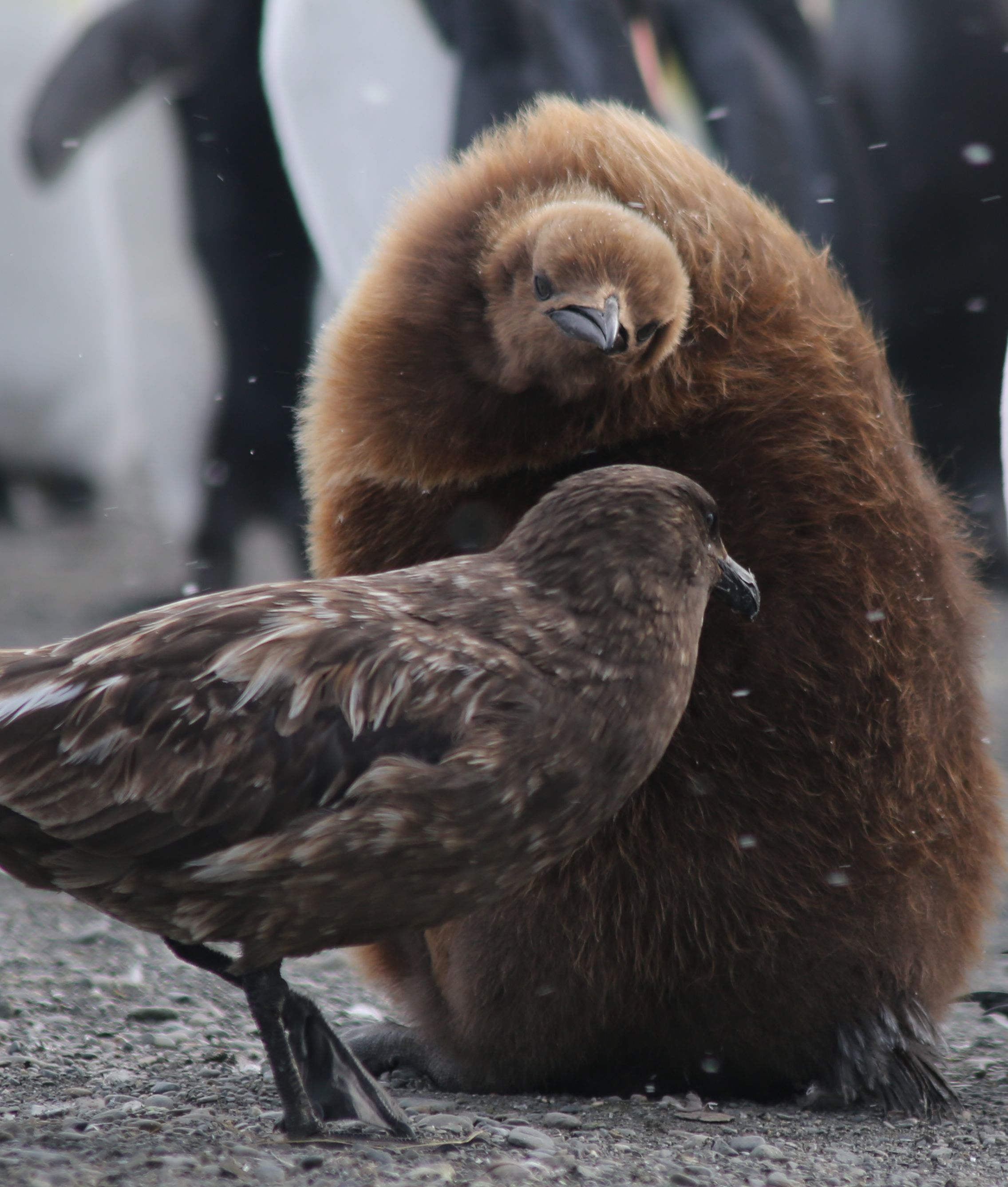 One king penguin chick shooed away a skua that seemed to be ominously eyeing him for lunch.