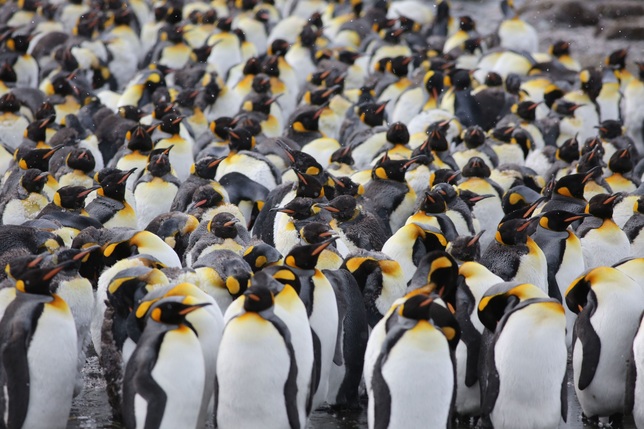 ...Gold Harbor had a LOT of king penguins.