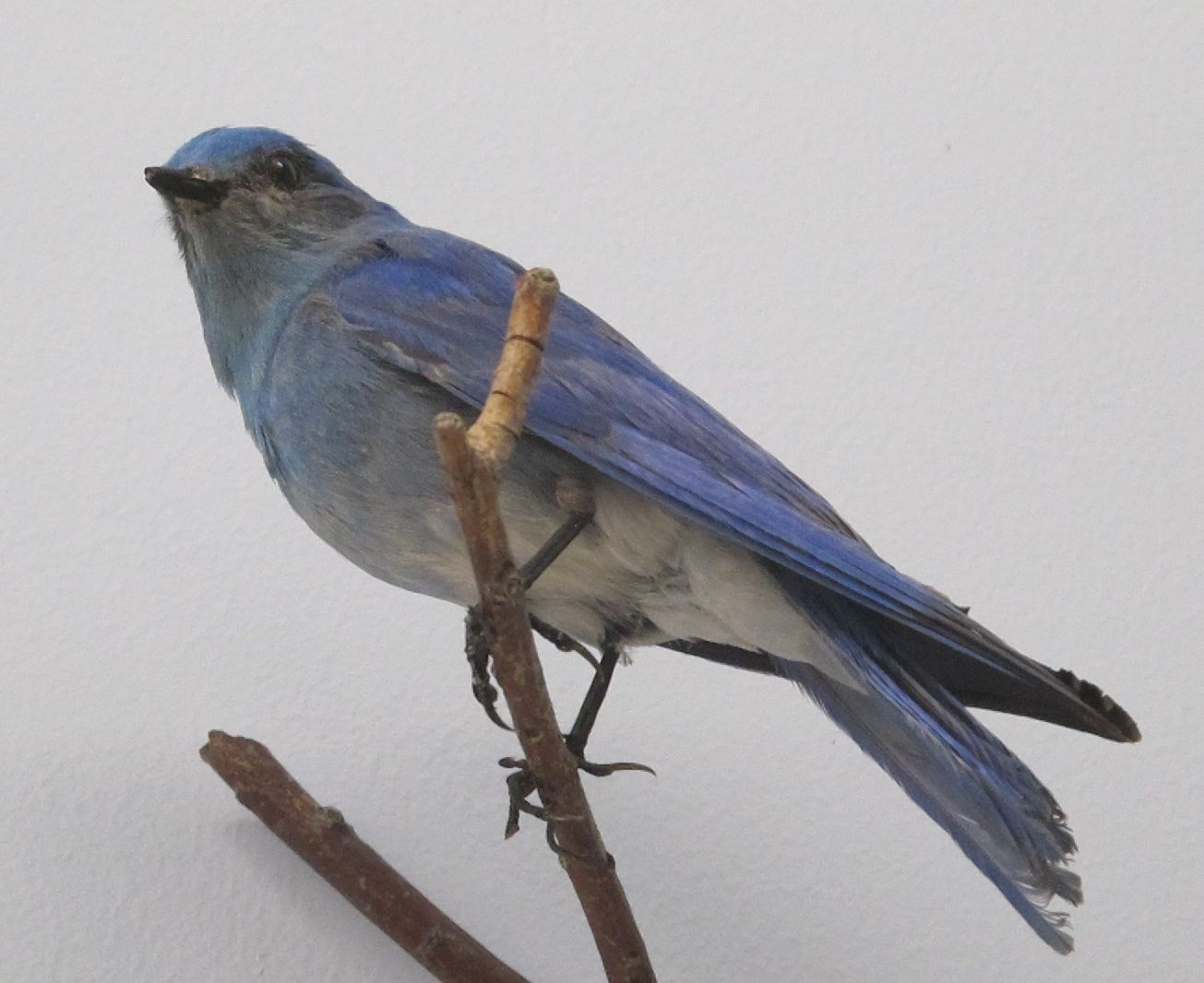 A mountain bluebird.