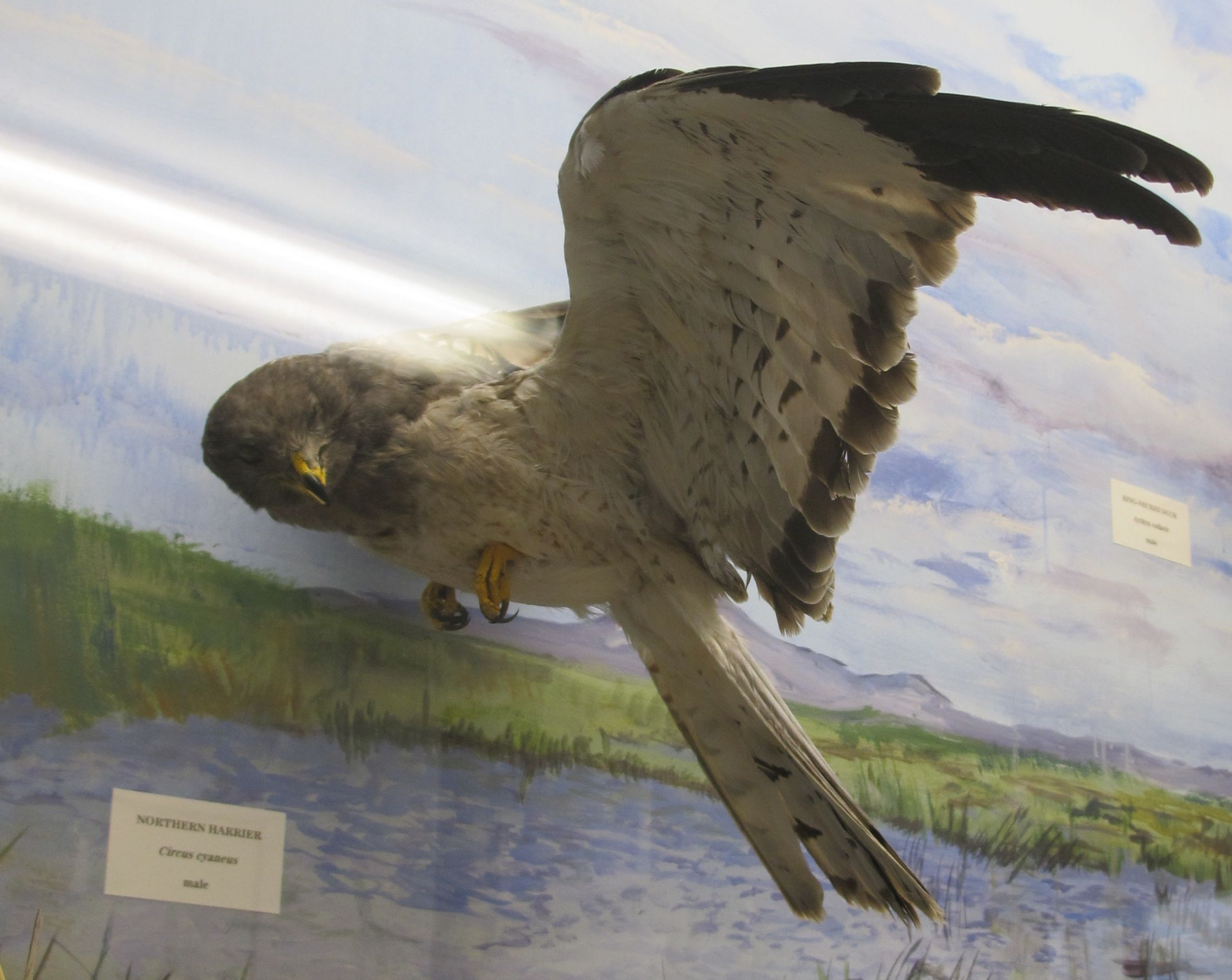 A northern harrier at the Malheur refuge museum.