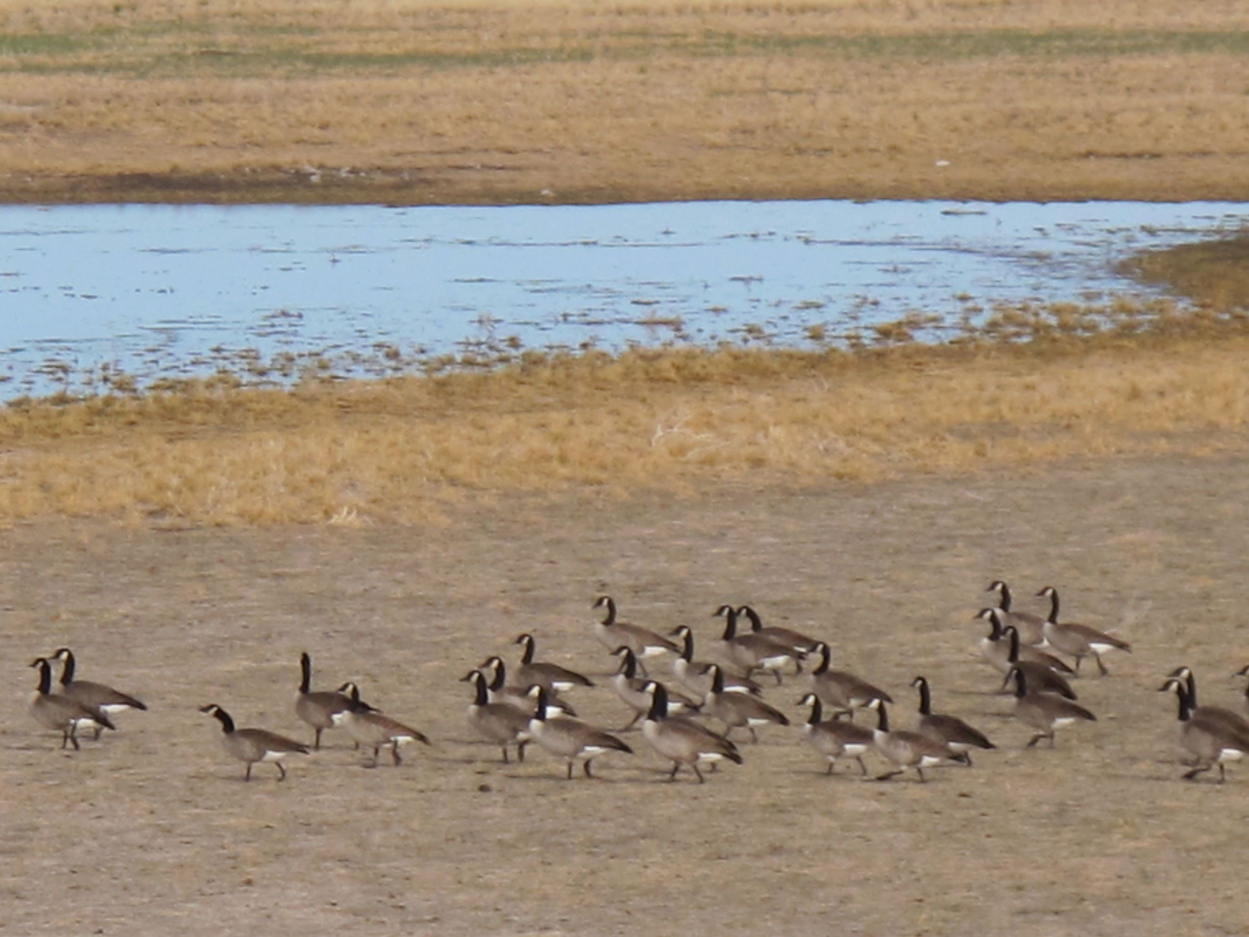 At the Malheur refuge we saw Canada geese and a variety of other waterfowl, wading birds and raptors.