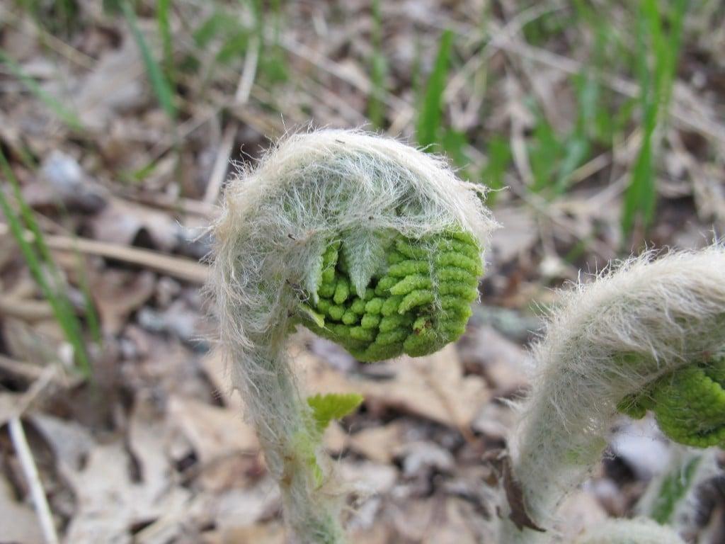 A fine forest fern fiddlehead face, unfurling—future fire fuel?