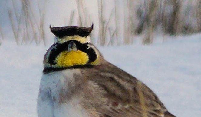 Kathy Zimmerman's horned lark photo, taken in South Dakota.