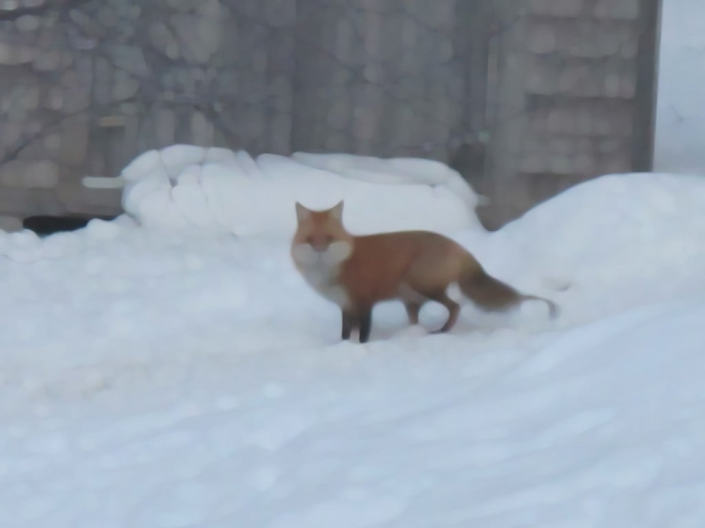 A paint-daubing tool enabled me to alter my photo of a fox in the snow at our house.