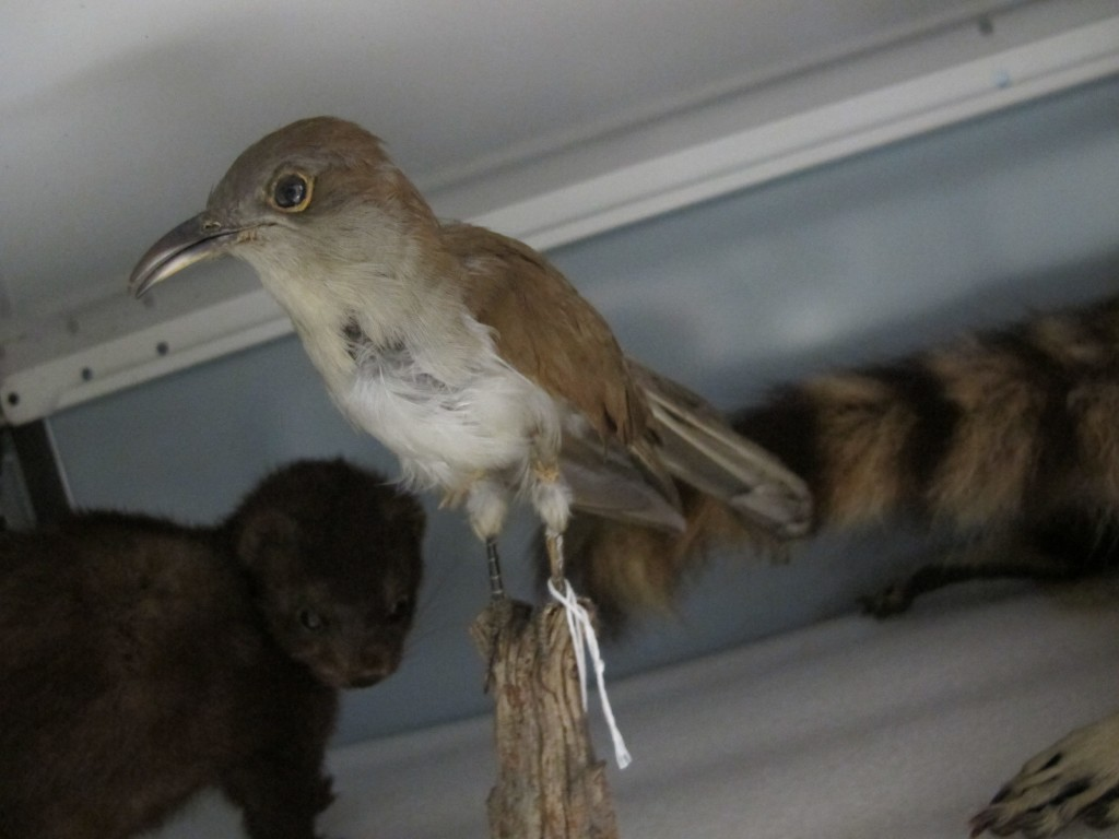 Among the other specimens at the archive are this black-billed cuckoo...