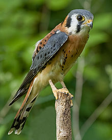 An American kestrel. These are only nine or ten inches long. Not what we saw.