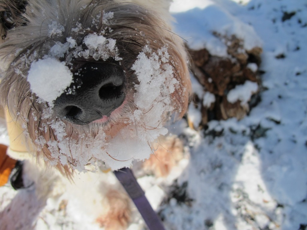 I've often noticed Wooster sniff freshly fallen snow more frantically than she does bare ground. Why is that? What's going on inside that canine snout?