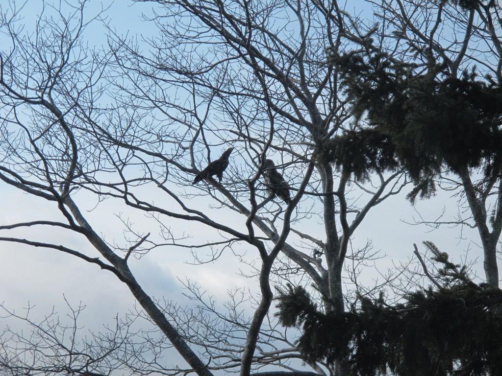 The two eagles after their failed attack.