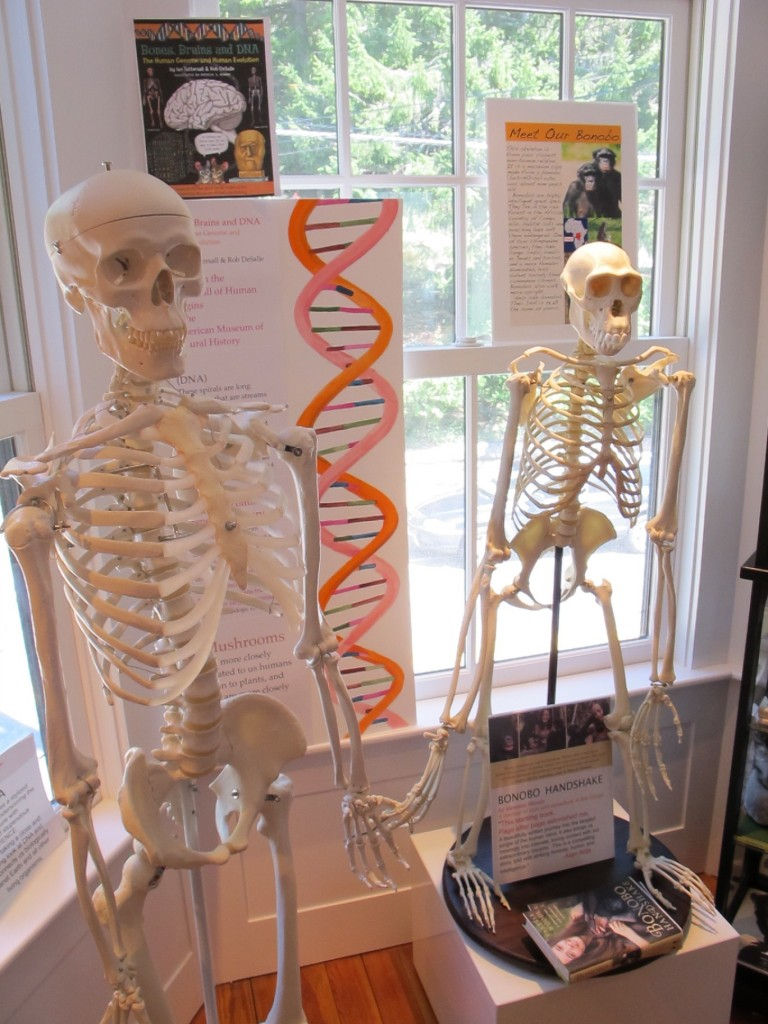 Part of a DNA installation at the Notebook two years ago. The DNA of humans and bonobos (the two types of primates whose skeletons are shown here) are about 99 percent identical.