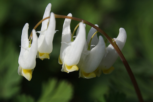 These are the flowers known as Dutchman's breeches—named back in the day when people dried trousers on clothes lines, not in machines.