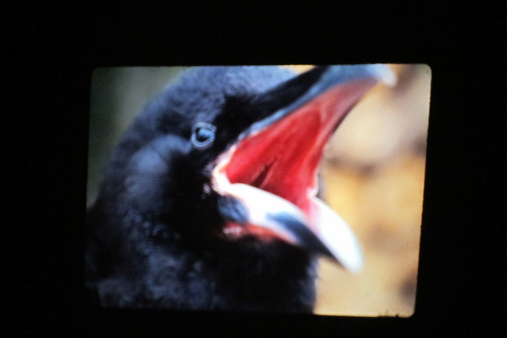 The mouths of young ravens are pinkish; they later turn black, but, inexplicably, the timing of that transformation can depend on the circumstances and the number of other juveniles with whom they are reared. Ravens can live for 50 years, and they mate for life.