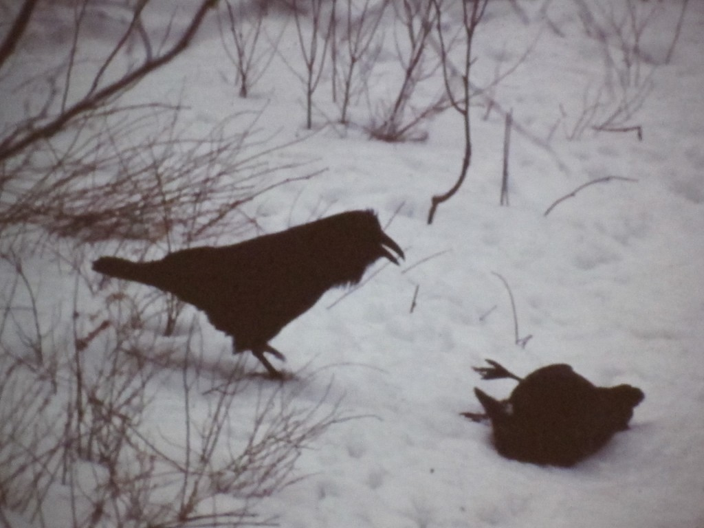 Ravens love to play. The one on the right is rolling around like a dog or cat. Bernd says they do crazy things like that. Each individual is different, he says, and much of the time he's not quite sure what they're doing or why they're doing it.