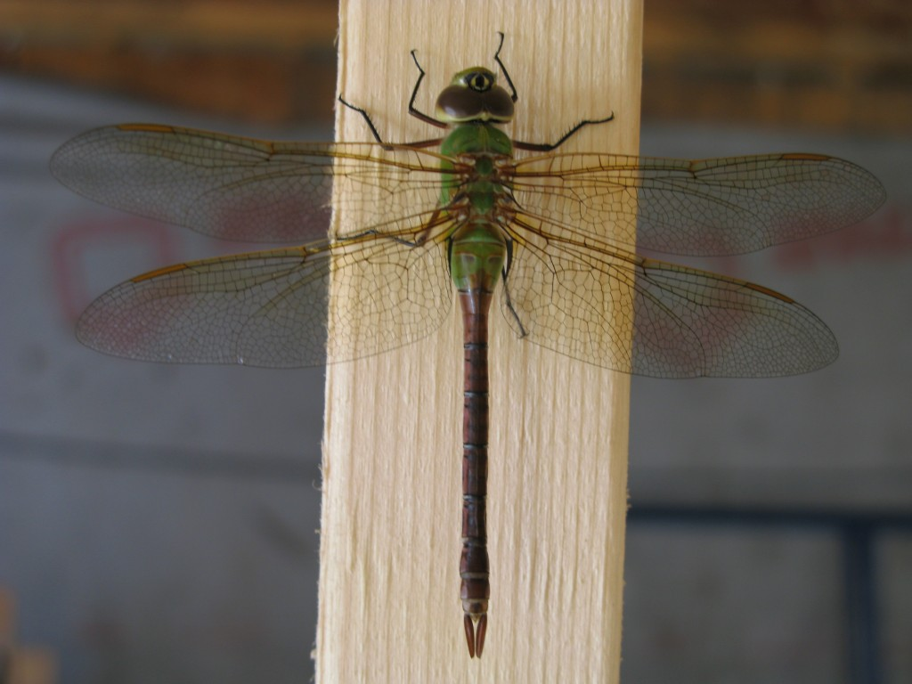A dragonfly I photographed at our house a couple of summers ago.