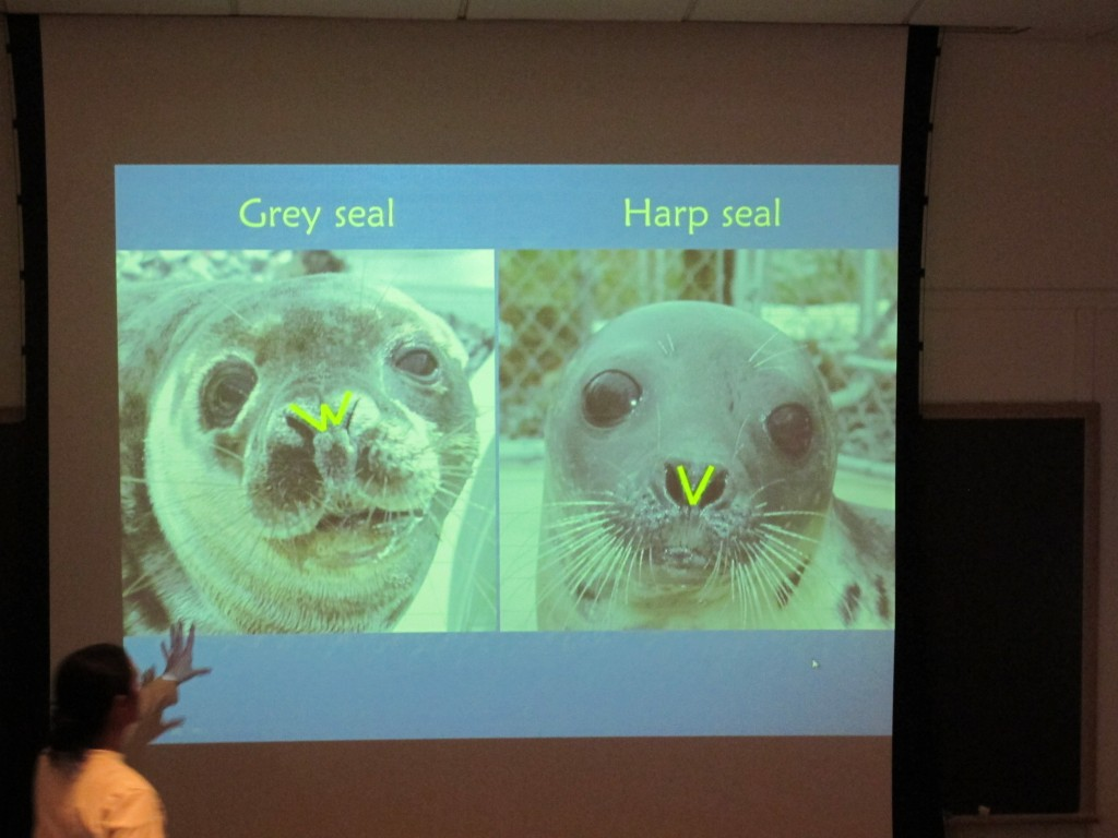 Nostril configuration can help distinguish gray seals (W shape) from harp seals (V shape). Because seals molt, change color while maturing, look different when dry or wet, and generally don't let you close enough to study their nostrils, identifying the type can be challenging even for experts.
