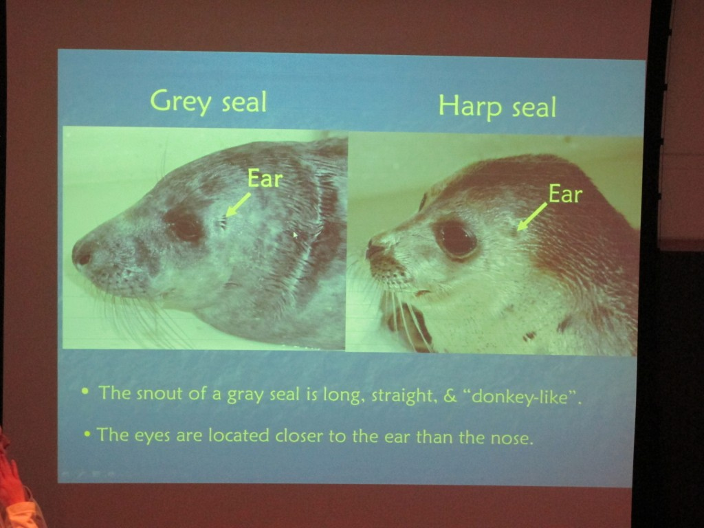 Though gray and harp seals are part of a group called earless seals, they have internal ears and hear well, at least underwater.