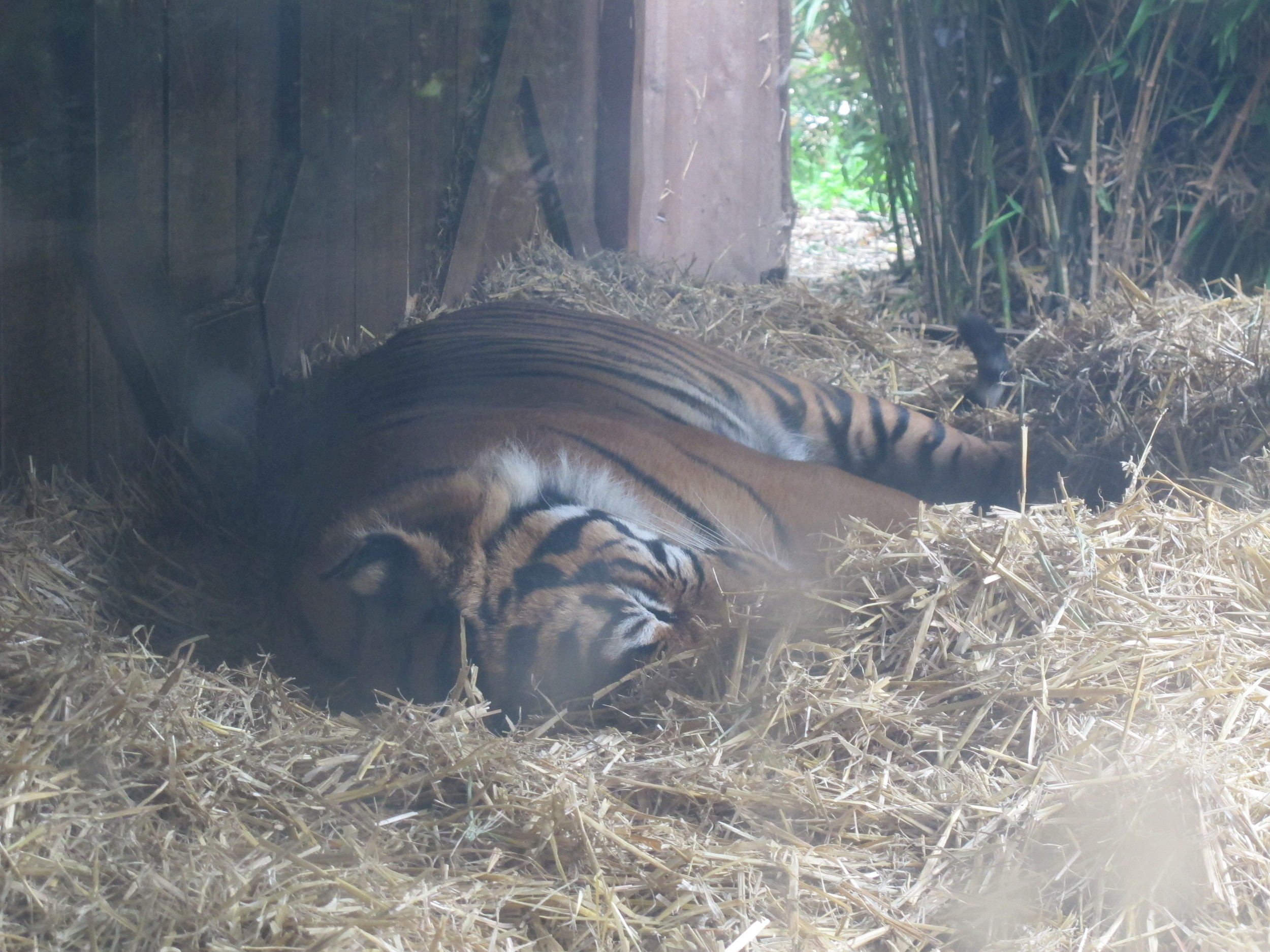 This Sumatran tiger snoozed through our visit, but presumably would be pleased to know that the zoo is building a much larger tiger enclosure that will try to recreate an Indonesian rainforest environment and will open in early 2013.