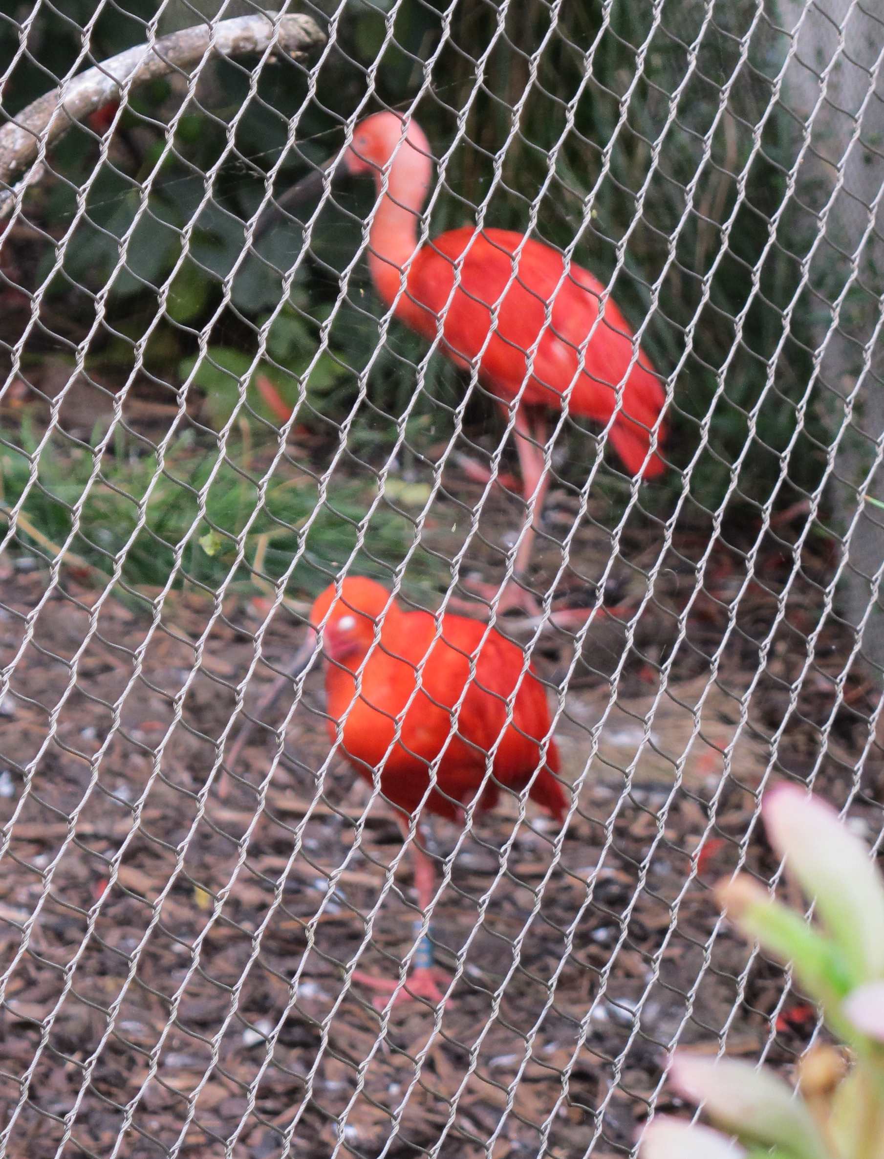 This is a terrible photo (camera focused on the fence), but the color of these scarlet ibises was phenomenal.