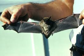 "Little brown bats belong to a genus called Myotis, meaning ""mouse-eared bat."" They're sometimes known as little brown myotises. Their population has been hit hard from white-nose syndrome."