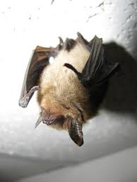 Northern long-eared bats are now listed as a threatened species because of the impact of white-nose syndrome.