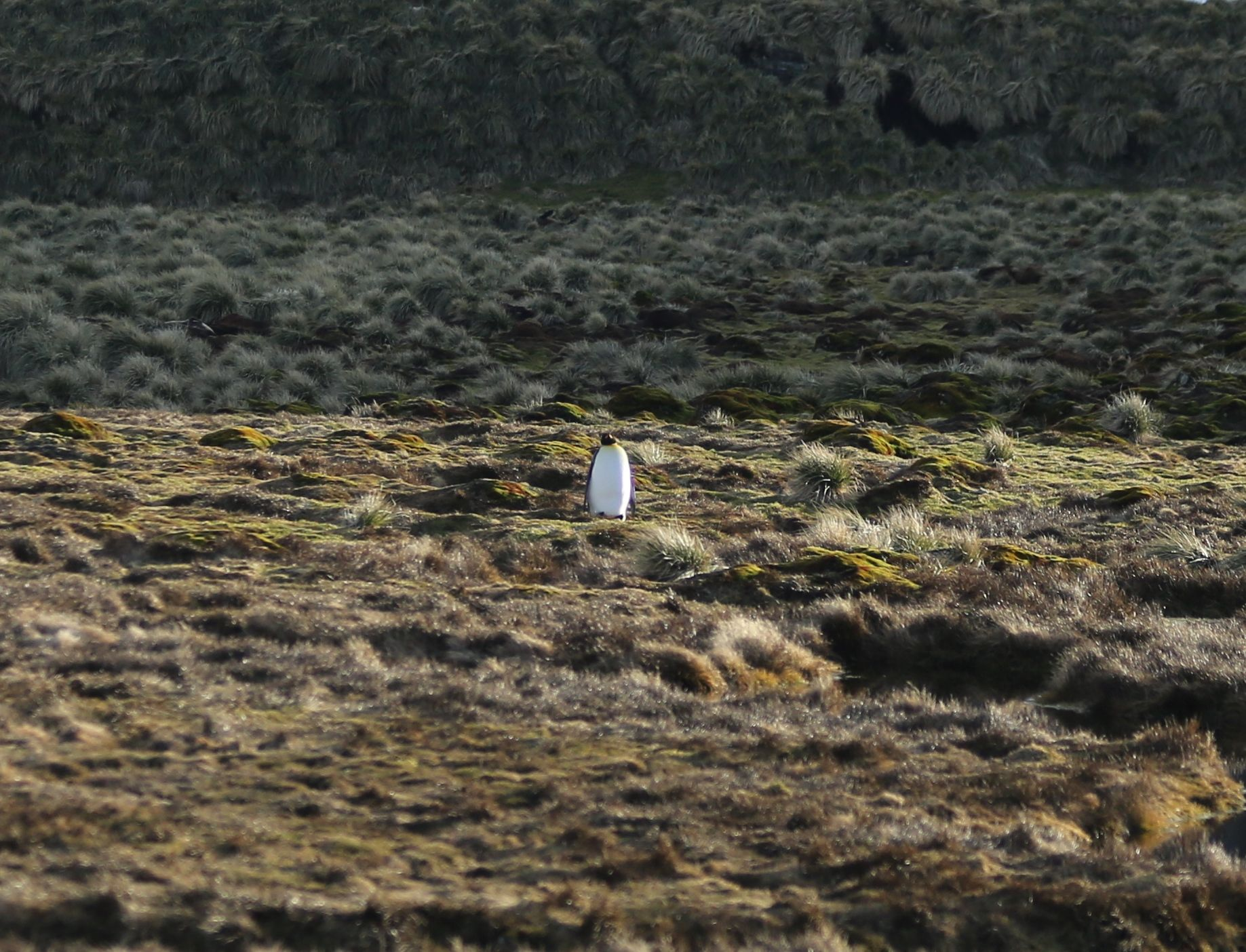 After the hundreds of thousands of king penguins we had seen earlier on South Georgia, this lone one seemed dramatic in a different way.