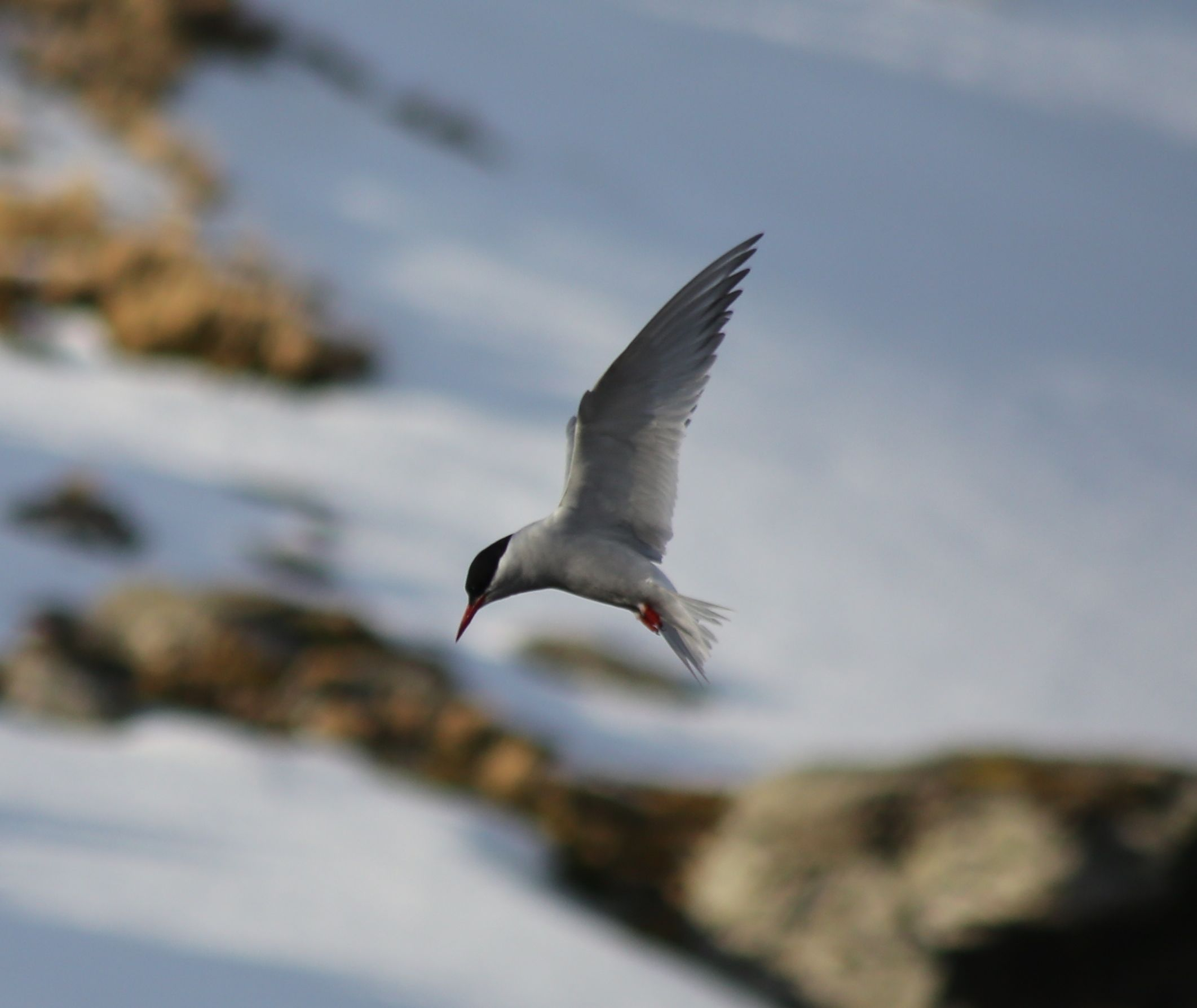 The terns hovered momentarily before diving to feed by the kettle pools.