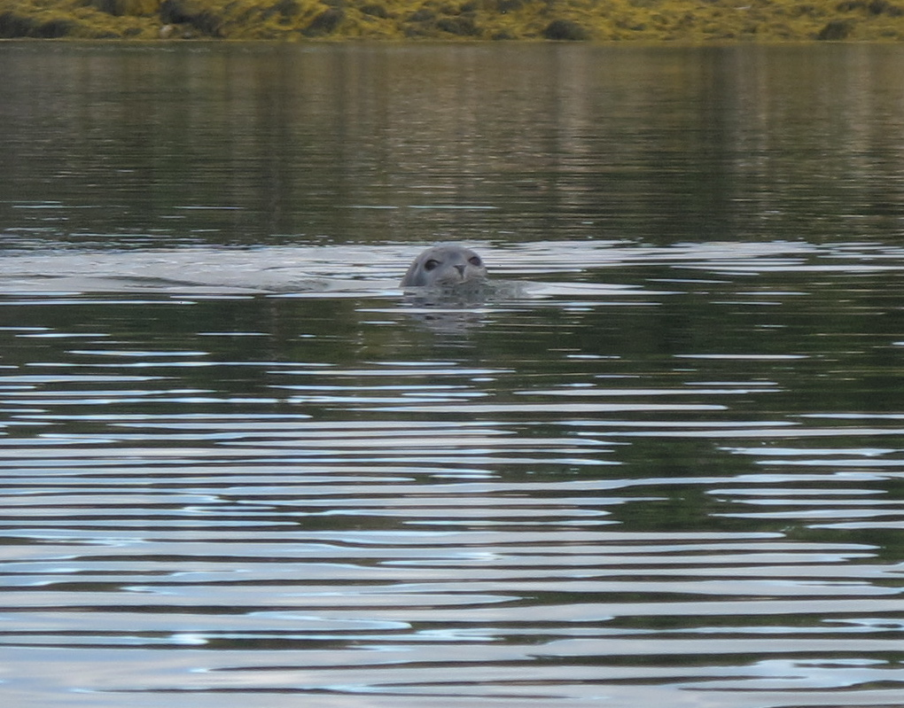 This curious seal surfaced near the kayak and studied us for almost a minute.