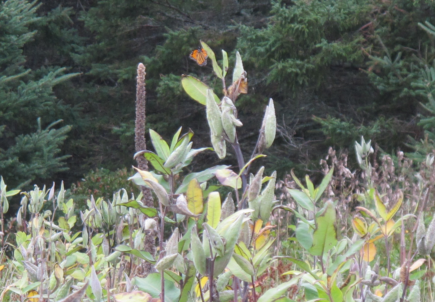 A monarch on the island of milkweed.