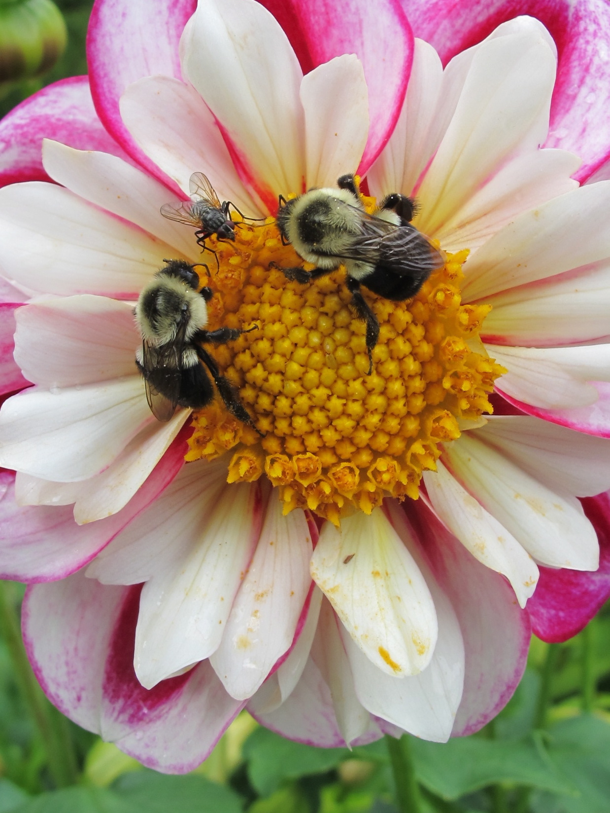 Flies aren't as beloved as bees, but both are pollinators.