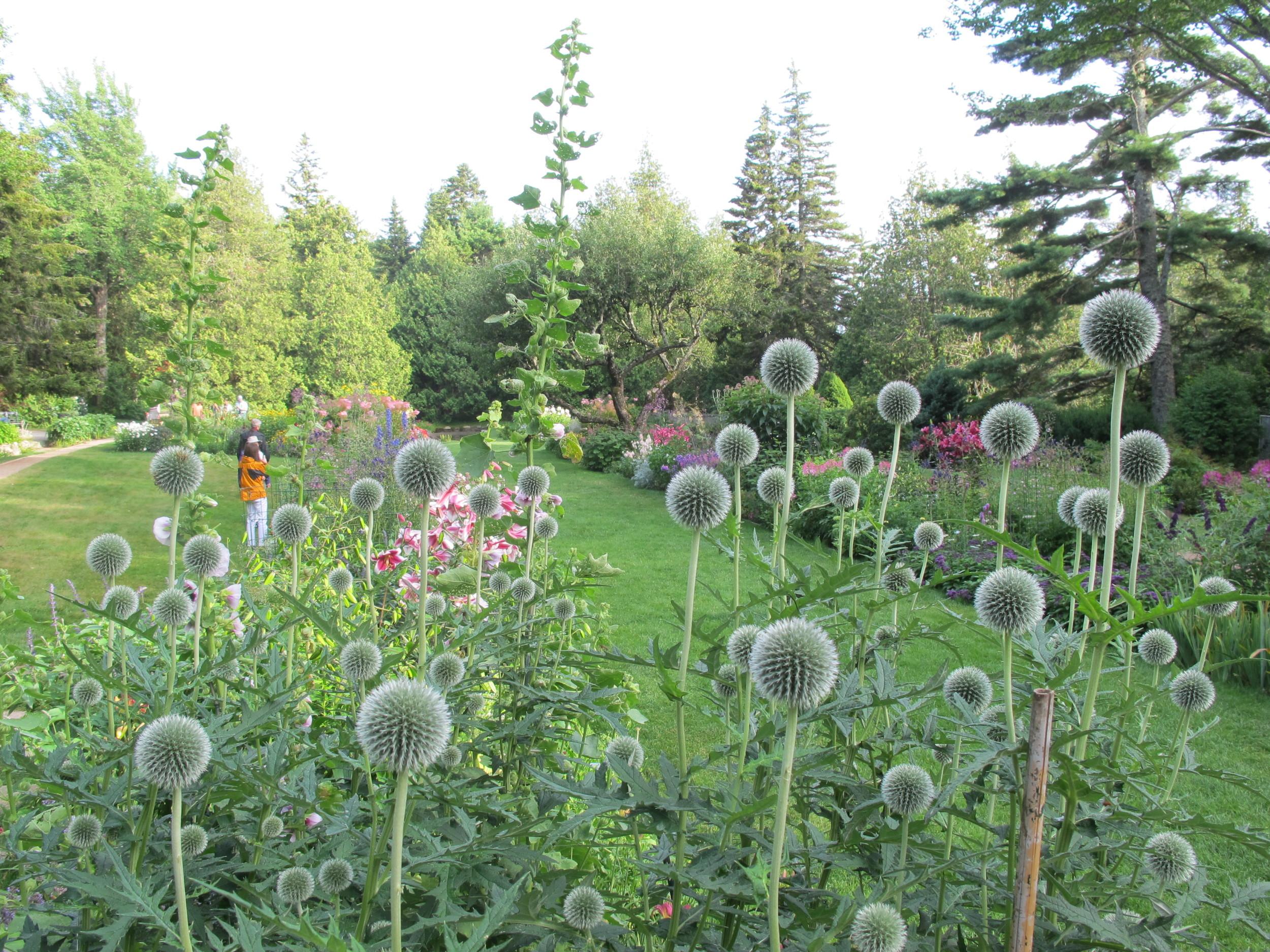 A portion of Thuya Garden as seen through a spiky solar system of globe thistle.