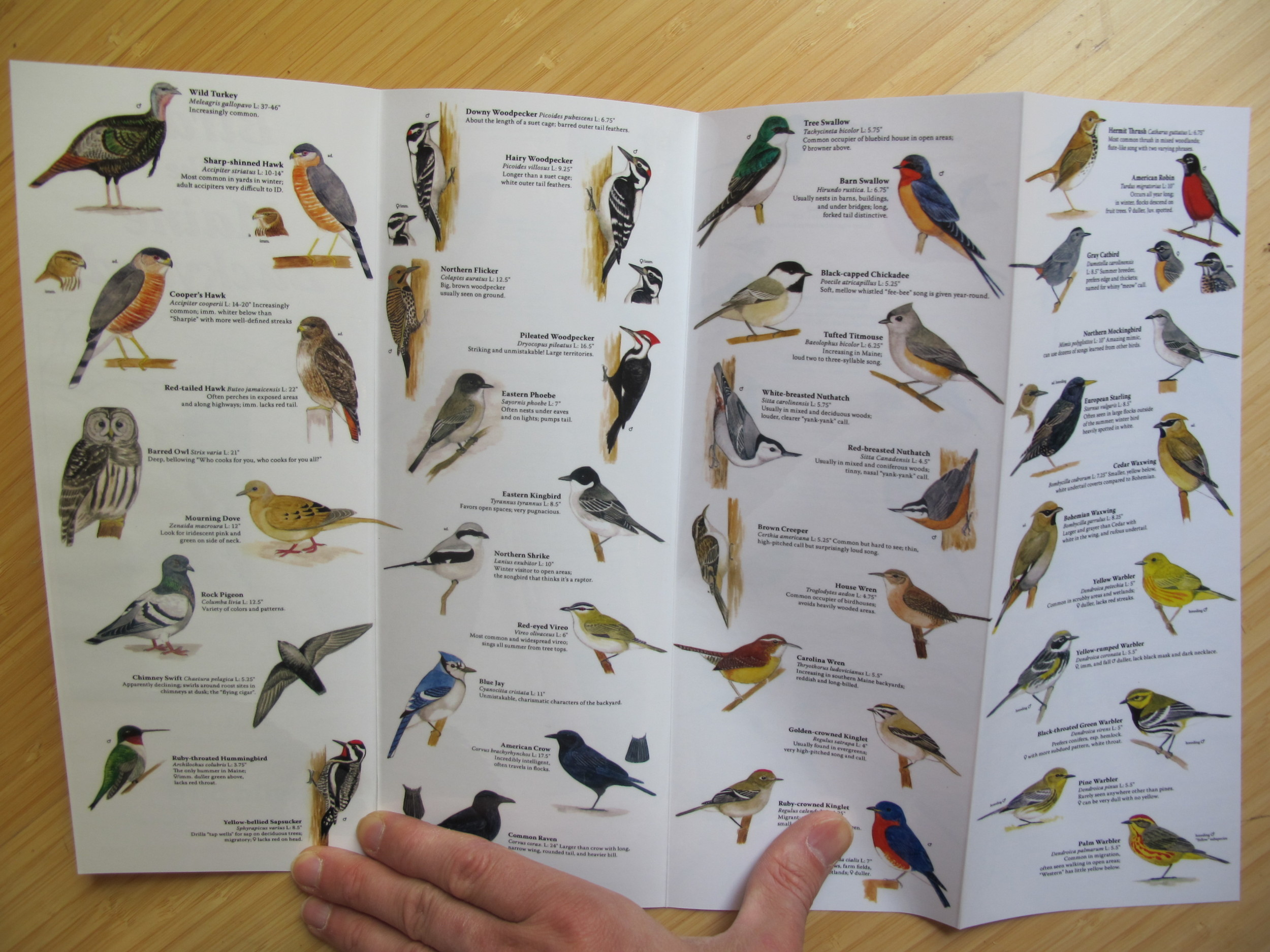 Luke illustrated this Maine bird guide at age 16.