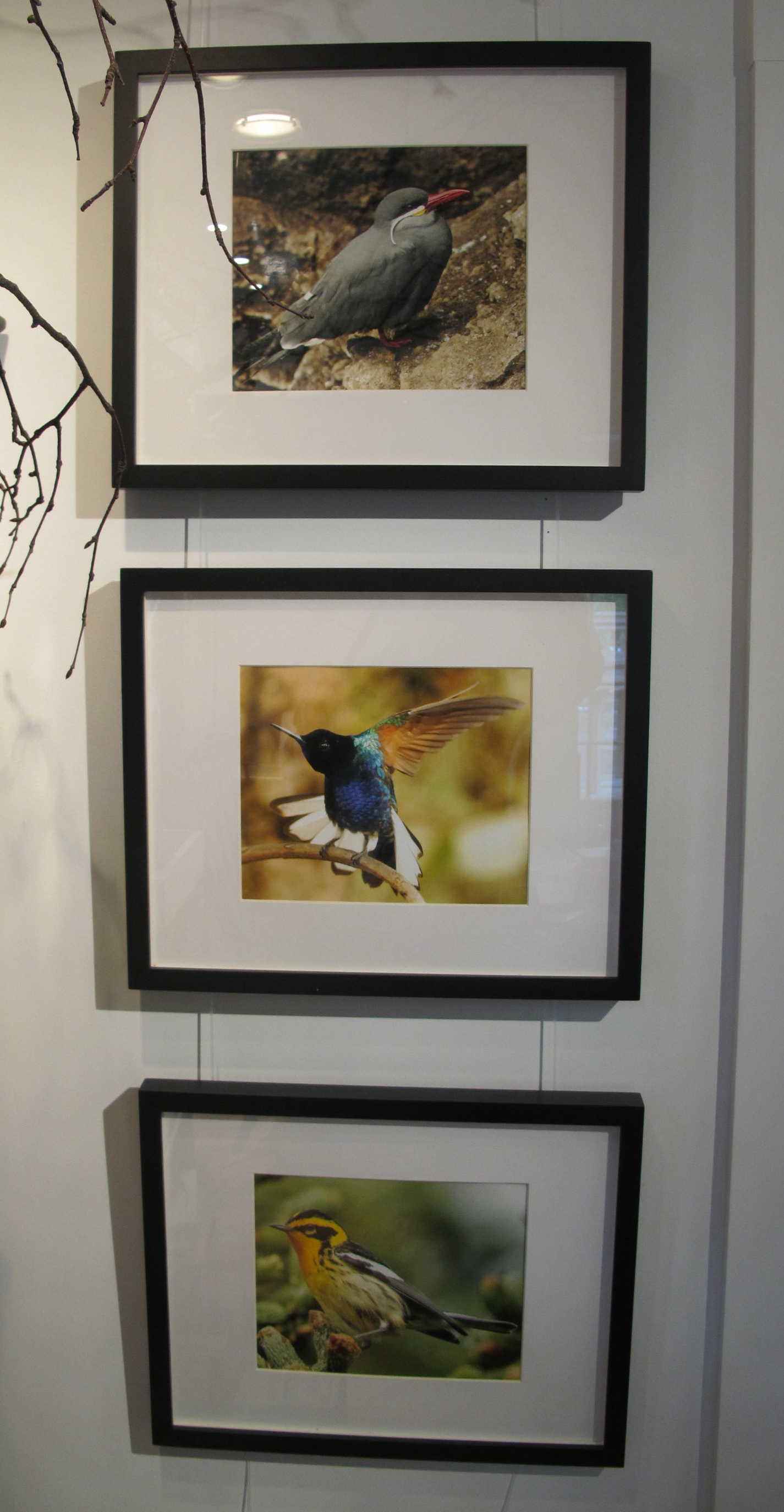 Three of Luke's bird photographs at the Notebook. From top to bottom, the birds are an Inca tern, a velvet-purple coronet and a Blackburnian warbler. They look even better when you see them in person.