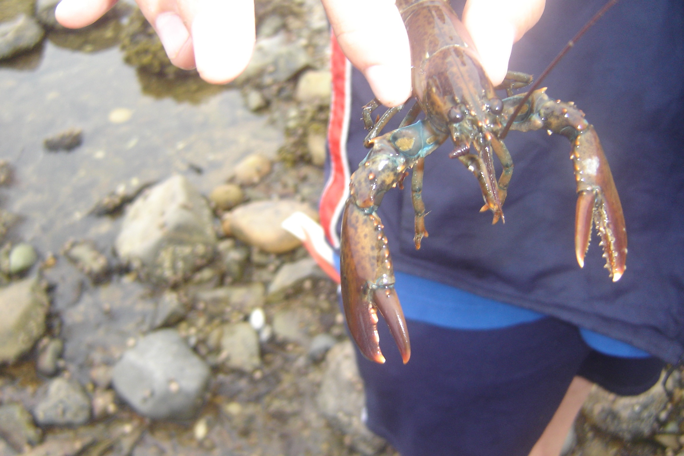 Dale and his family discovered this tiny lobster while exploring at low tide near Southwest Harbor. I've never come upon one while walking the low tide. A century ago the Maine shore was so littered with lobsters that they were served to jail prisoners virtually every night.