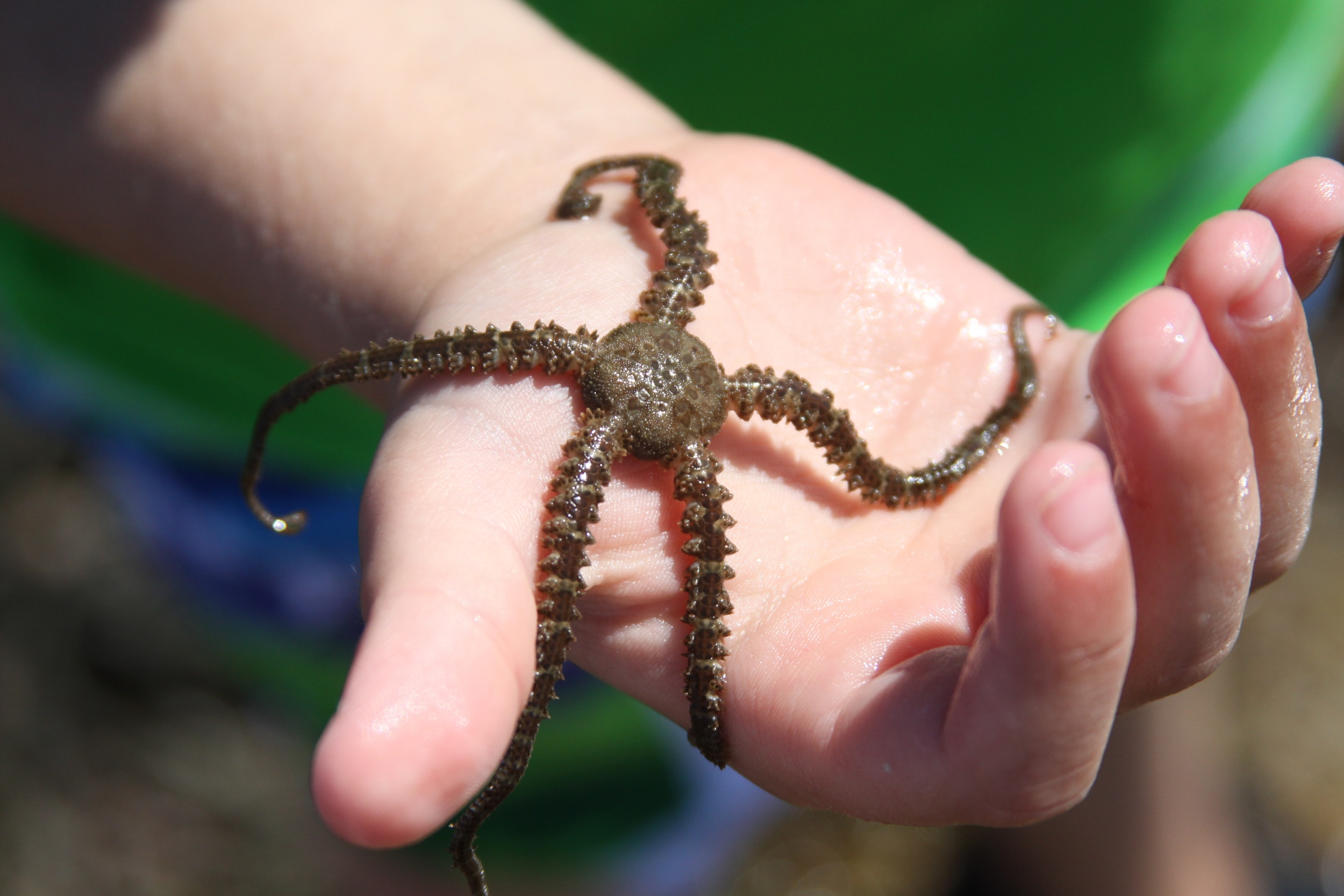 A brittle star that Dale's family found.