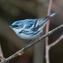 The cerulean warbler, courtesy of a better prepared photographer from Wikipedia