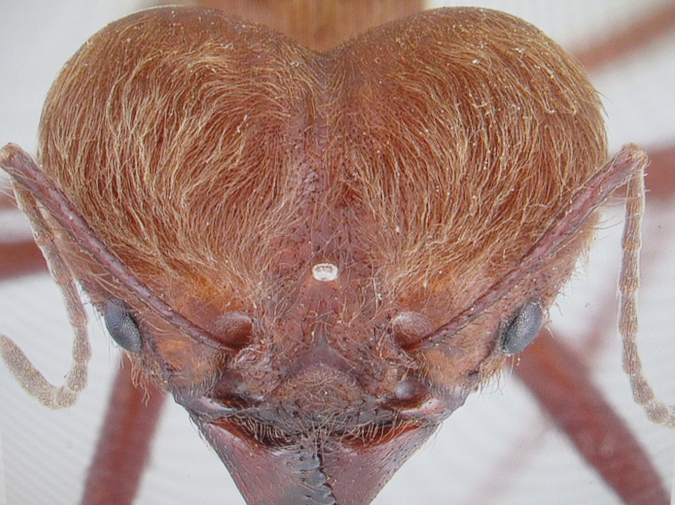 This barber's-eye view of a Costa Rican leaf-cutter ant shows the sort of detail visible in the California Academy of Sciences photo series..