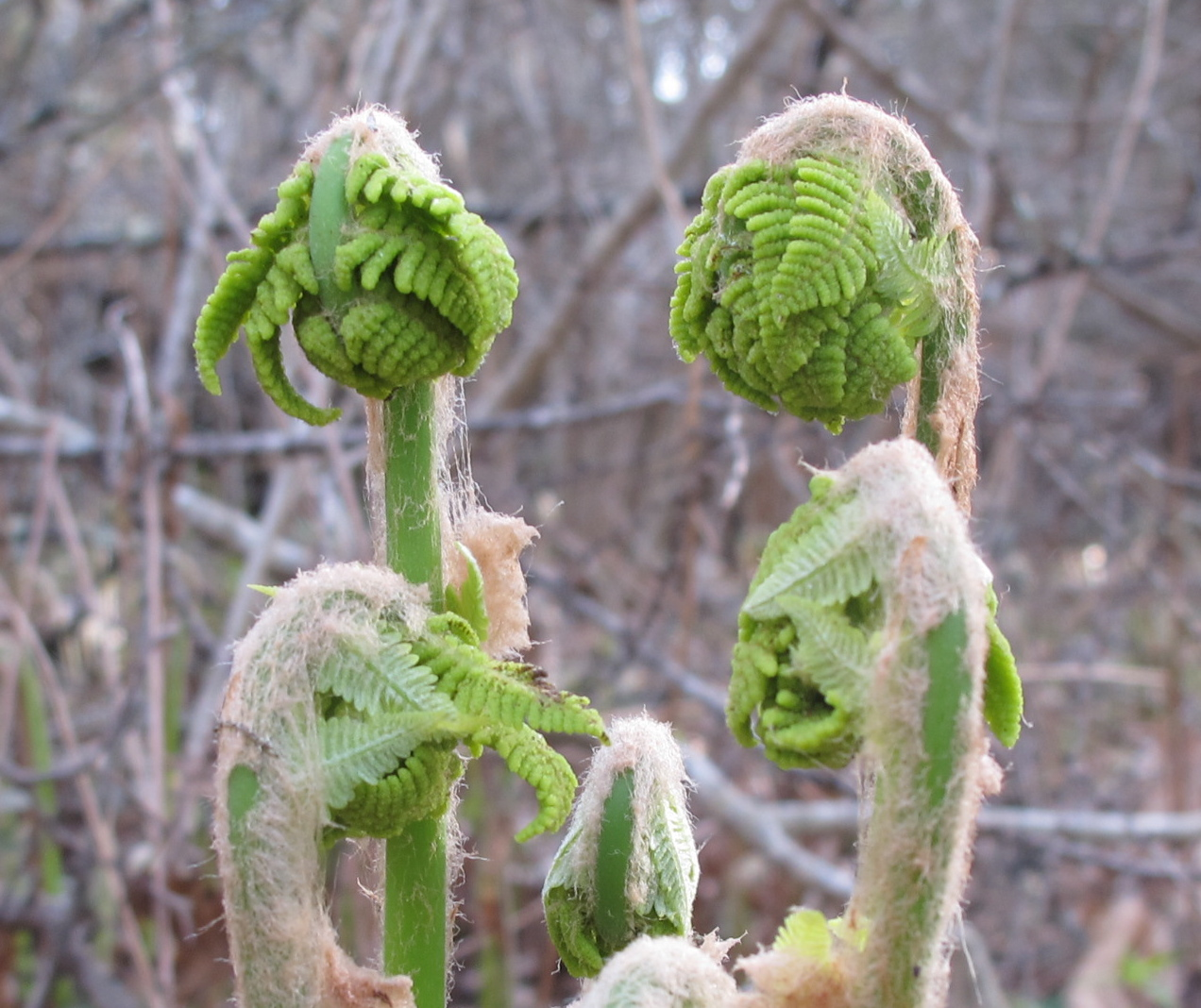 The fiddlehead ferns I showed you last week—when they still had their Justin Bieber haircuts—are unfurling into a new range of creatures, including a goose and an accountant wearing eyeshades.