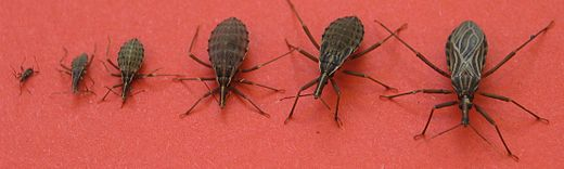 South American kissing bugs