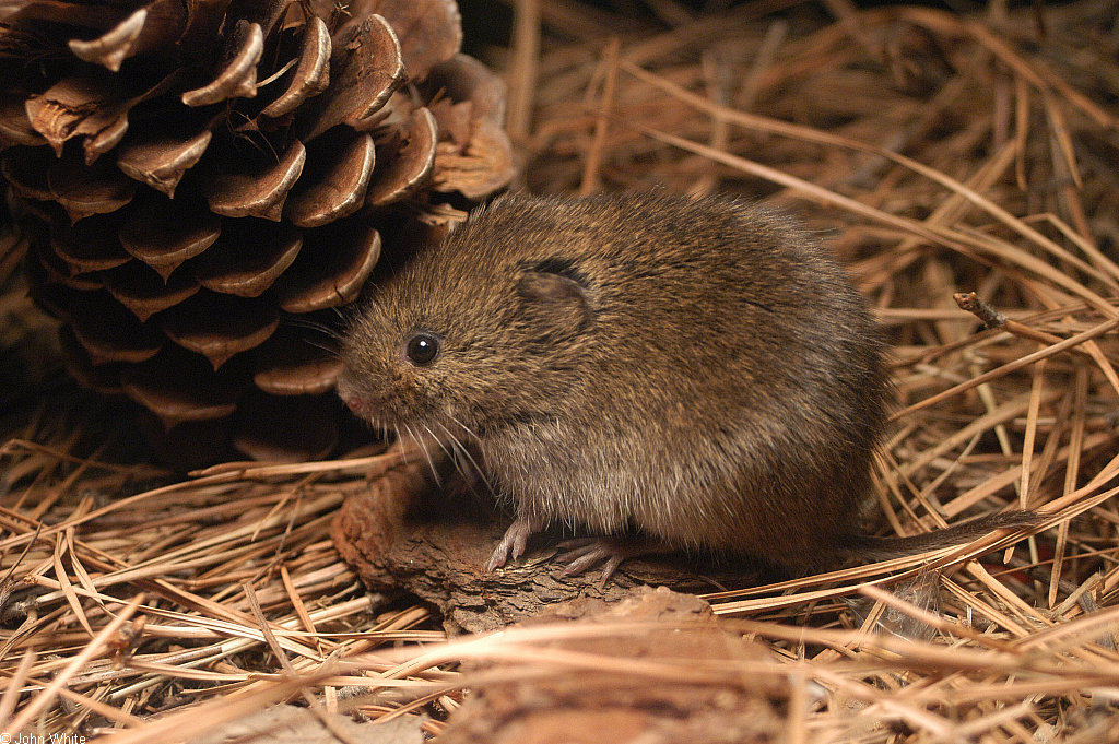 The dangerous-looking suspect: a meadow vole