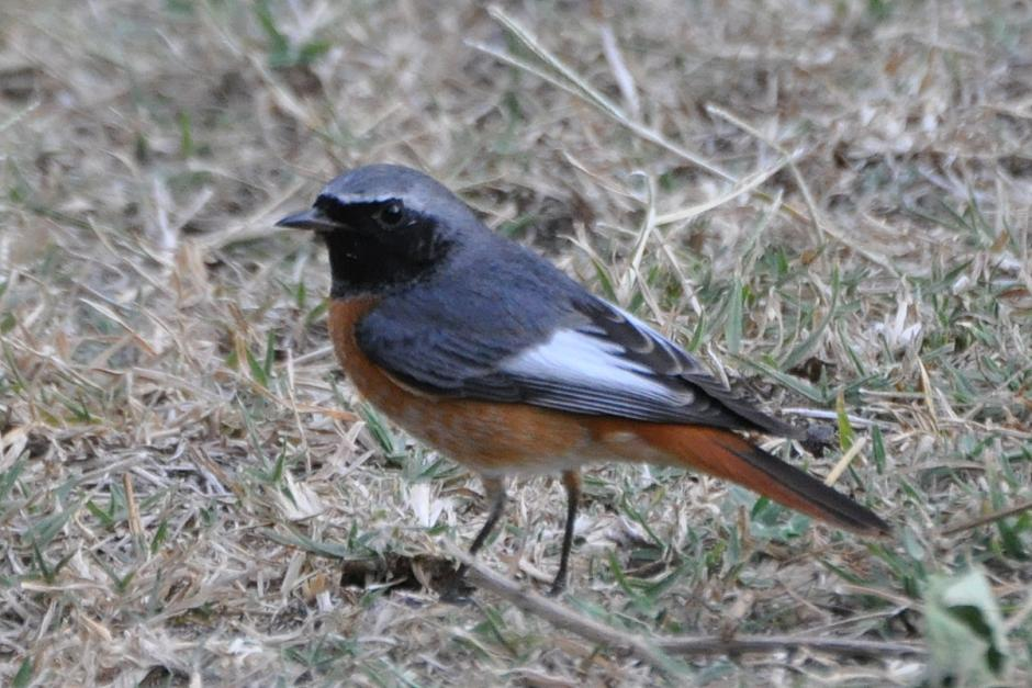 Aristotle regularly saw common redstarts like this one in Greece in the summer.