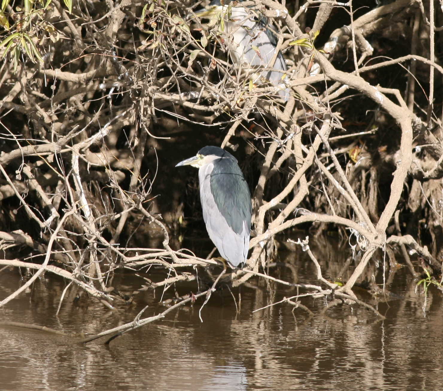 A black crowned night heron we saw last November at the Colusa National Wildlife Refuge in California.