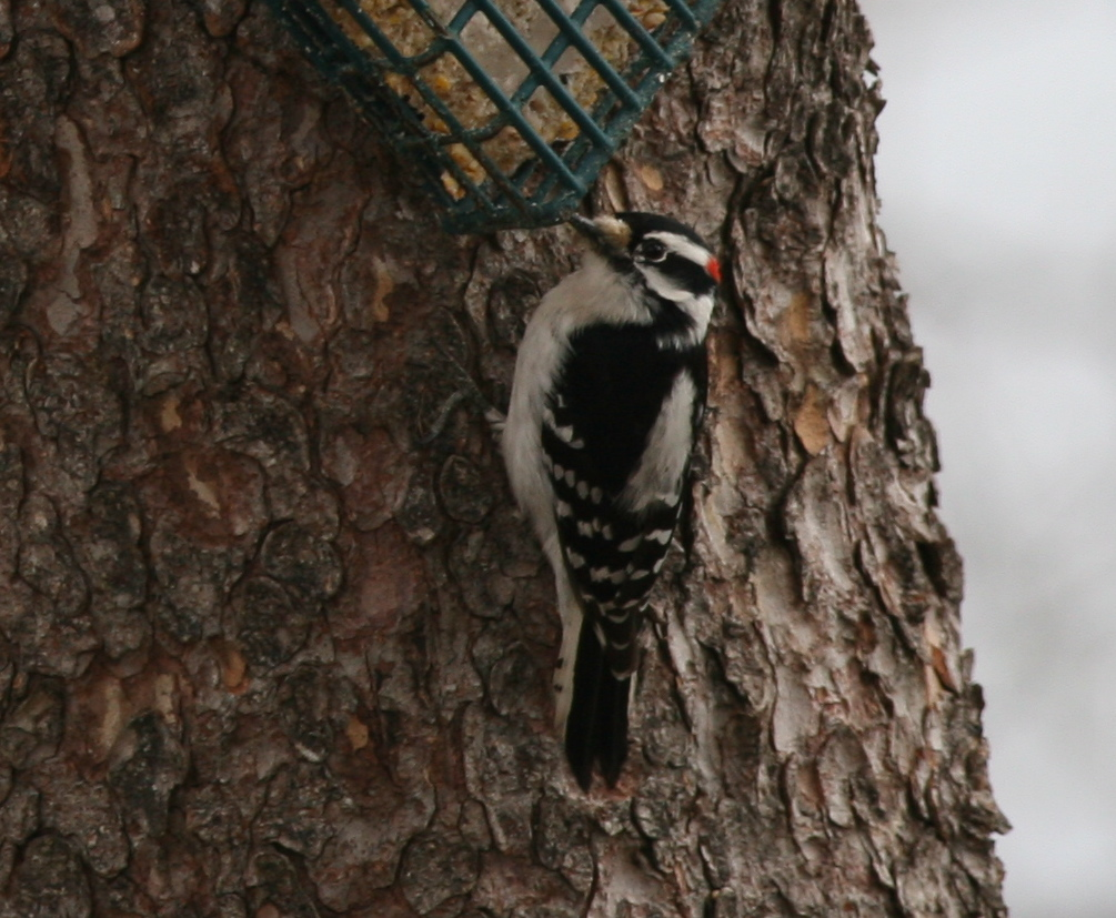 What's worse than peanut butter stuck to the roof of your mouth? Suet stuck to the top of a woodpecker's bill. This male downy studied the problem for quite a while yesterday before flying off.
