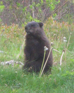 This woodchuck was never our pet, but he made himself at home on our lawn and in our gardens early last summer. Fortunately for our dahlias, he then moved on.