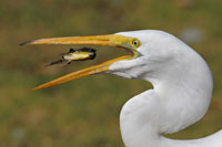 This remarkable shot of an egret by Graham F. Owen of Burbank, Calif., was one of the Nature Conservancy winners.