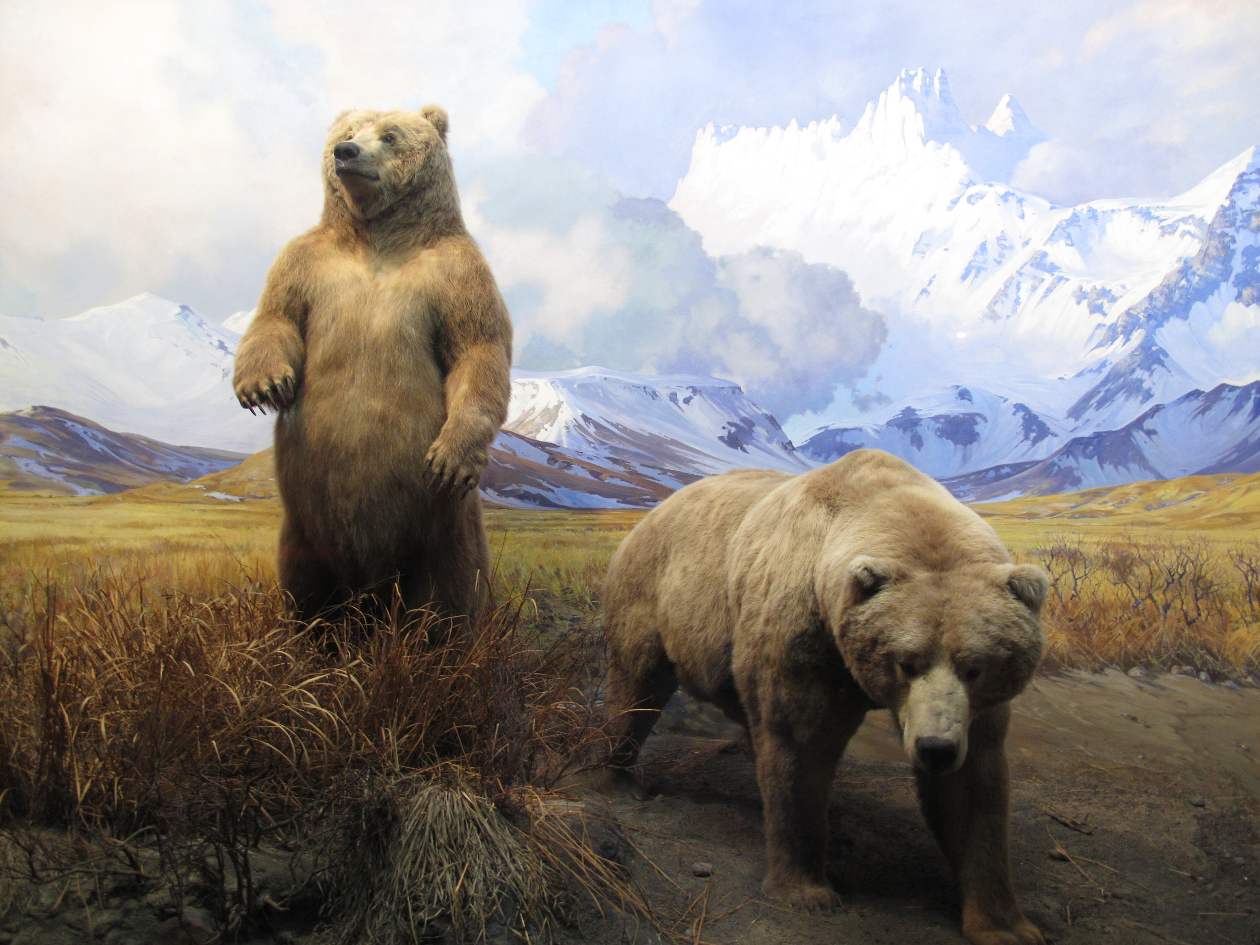 As the Natural History Museum's display makes clear, Alaska brown bears such as these are utterly gigantic—much bigger than grizzlies, though (good news if you run into one) their claws are shorter and their temperament less aggressive.