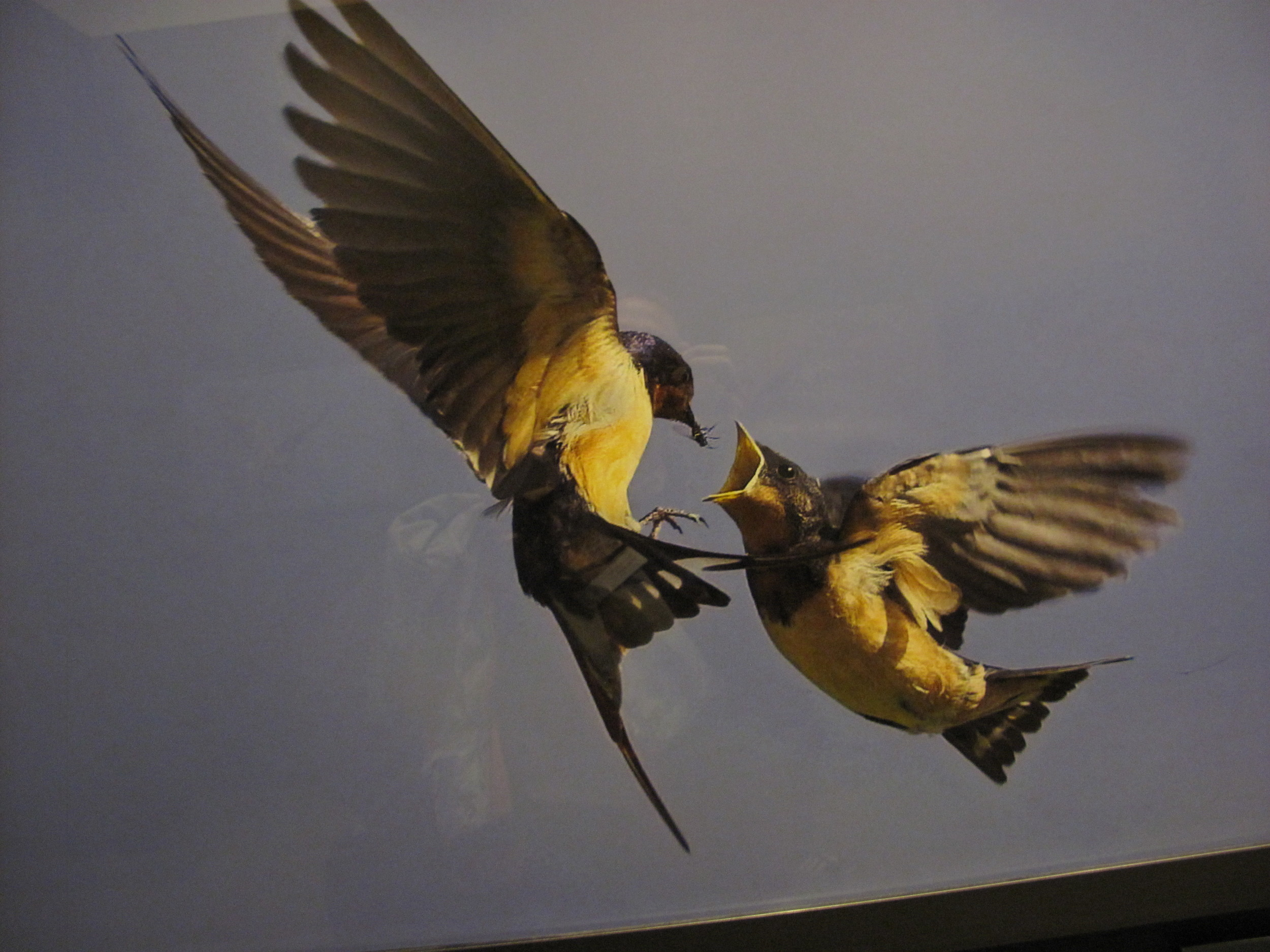 Part of a superb photo exhibit called On Feathered Wings, this extraordinary photo of a barn swallow feeding a fly to a fledgling was shot by David G. Hemmings in Canada.