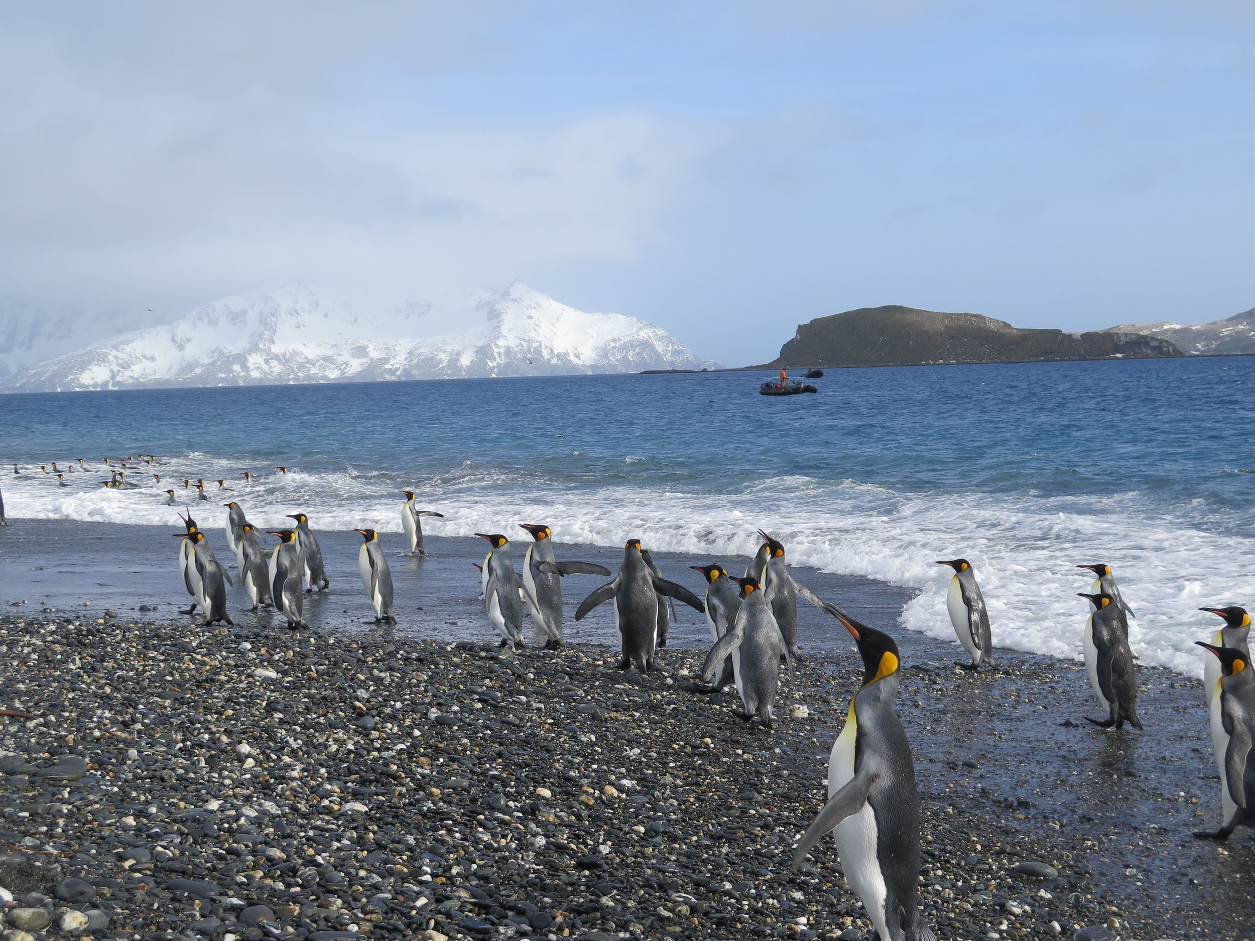 Waves of king penguins came ashore and joined the masses on the plain. The ocean is home to these penguins for most of their lives, during the months when they're not breeding or molting (as many of them were at this time).