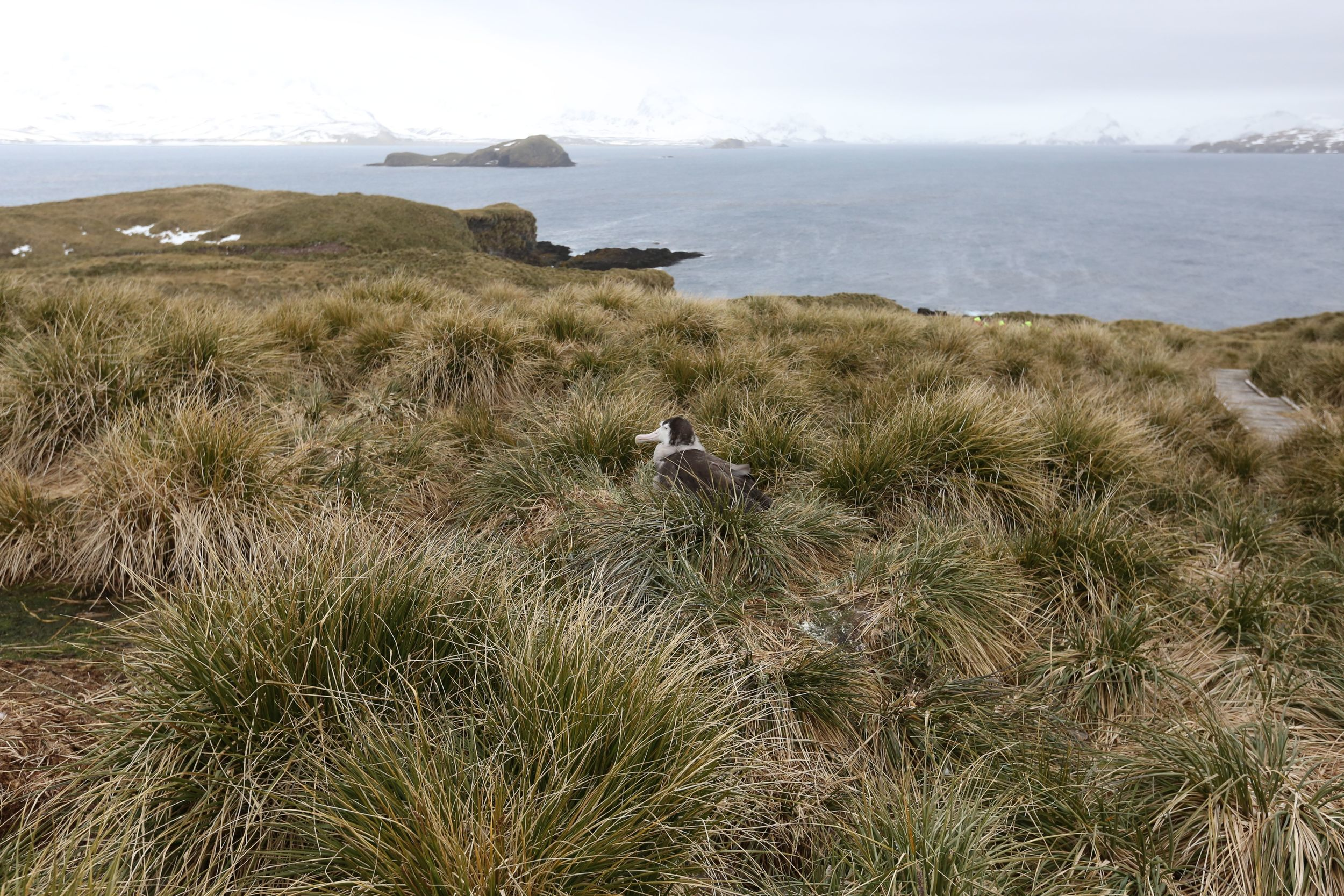 Wandering albatrosses are extraordinary birds. They have the largest wingspan of any avian species (up to 11-and-a-half feet) and can live for 50 years if not done in by getting snagged on baited longline fishing hooks, which kill about 100,000 albatrosses of all kinds each year.